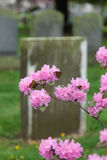 Old Tombstone with Pink Cherry Blossoms Stock Photo