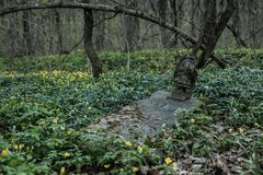 Old tombstones in abandoned cemetery. Overgrown by blue and yellow spring flowers Royalty Free Stock Image