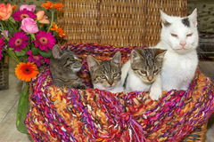 Old tomcat with three young kitten. Royalty Free Stock Photos