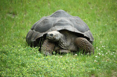 Old Tortoise Royalty Free Stock Photos