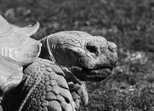 Old Aldabran Tortoise Royalty Free Stock Image