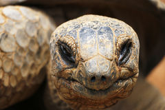 The old Tortoise head Royalty Free Stock Photos