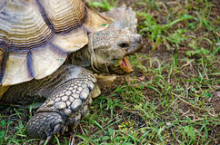 Old tortoise with open mouth Stock Photo
