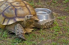 Old tortoise with water bowl Stock Photography