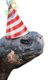Old tortoise wearing red and white striped birthday party hat stock photography