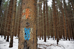 Old tourist routes markings on a fir tree Royalty Free Stock Photography