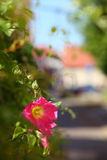 Old Town Flowering Climbing Plant Royalty Free Stock Photos