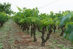 Old traditional alberello vineyards with rows of primitivo wine. Grapes plants in great wine region of South Italy Manduria in Apulia stock photos