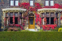 Old, traditional British house with red ivy. On the front wall royalty free stock photos