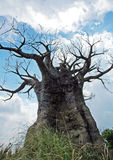 Old tree. An old tree against sky royalty free stock photography