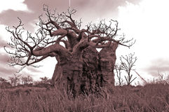 Old tree. An old tree in sepia tone royalty free stock photos