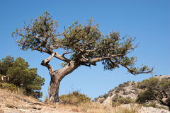 Old tree. Old dry tree under Crimean sky Royalty Free Stock Images