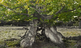 Old tree. With green leafs in a field Stock Photos