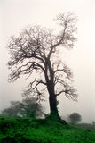 Old tree. When I was going by my car to outside of Pune during monsoon season. Then I noticed this old tree at the roadside Royalty Free Stock Images