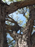 Old tree. A very old tree in Kolossi, Cyprus Stock Photography