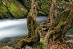 Old tree. In narrow gorge of Biala reka river in Stara planina mountain in Bulgaria Stock Photo