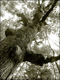 Old tree. Old gnarled tree in black and white stock image