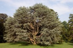 Old Tree. Large old evergreen tree in a peaceful park Royalty Free Stock Image