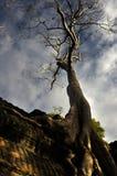 Old Tree. In Wat Ta Prohm, Cambodia Stock Image