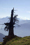 Old tree. An old, dead tree in the Alps Stock Photo