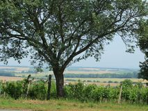 Old tree. Vineyards and landscape in the background. South Moravia royalty free stock photography