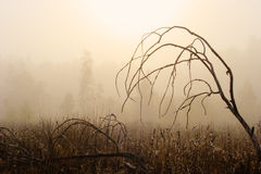 Old tree. Morning landscape with old tree and forest in fog royalty free stock images