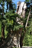 The Old Tree. The old dying tree standing in Stanley's park (Vancouver, Canada Royalty Free Stock Image