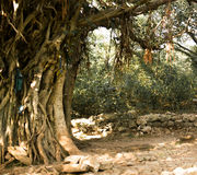Old tree. An old tree Royalty Free Stock Photos