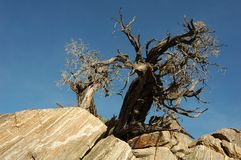 Old Tree. Knarled Old Tree Agaisnt a Blue Sky in Joshua Tree National Park Royalty Free Stock Image