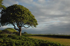 Old Tree. With a view in Hawaii Royalty Free Stock Photography