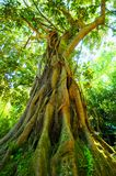 Old tree. Low angle view of old hardwood ficus magnoliodes tree with aerating roots Royalty Free Stock Photos
