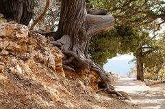 An old tree along the trail. An old tree with wide curved roots along the footpath Royalty Free Stock Photos