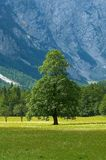 Old tree in alpine valley. In Slovenia Royalty Free Stock Photo