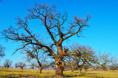 Old tree Stock Photography