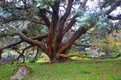 Old Tree. A ancient tree. Located in Manteles Hacienda Hotel in Tungurahua Ecuador Stock Image