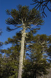 Old tree Araucaria. Araucaria old tree in the national park Nahuelbuta. Chile Royalty Free Stock Photography