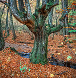 Old tree in autumn forest Stock Photo