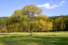 Old tree in autumn. Royalty Free Stock Images