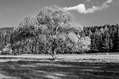 Old tree in autumn. Royalty Free Stock Photography