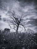 Old Tree (B&W). Black & white photo of an old, dead tree Royalty Free Stock Images