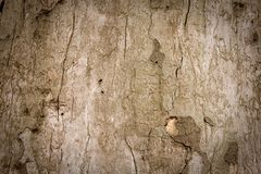 Old tree bark background Royalty Free Stock Image
