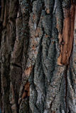 Old tree. The bark of an old tree damaged by moss disease and nails Stock Image