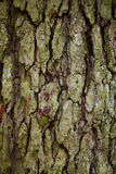 Old tree bark detail texture background. Old wood tree bark with green moss detail texture background Stock Image