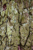 Old tree bark detail texture background. Old wood tree bark with green moss detail texture background Royalty Free Stock Image