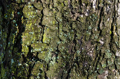 The old tree bark with light green moss. The background is tree bark royalty free stock images