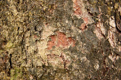 Old tree bark texture. Abstract old tree bark texture background Stock Photos