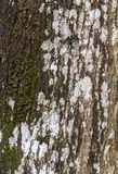 Old tree bark texture Royalty Free Stock Image