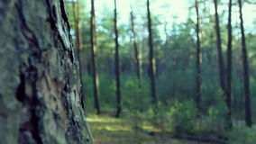 Old tree bark texture. Sunny forest stock footage