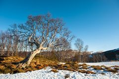 Old tree. A bent tree on mountain in Norway Stock Image