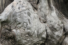 Old tree with big knot Royalty Free Stock Images